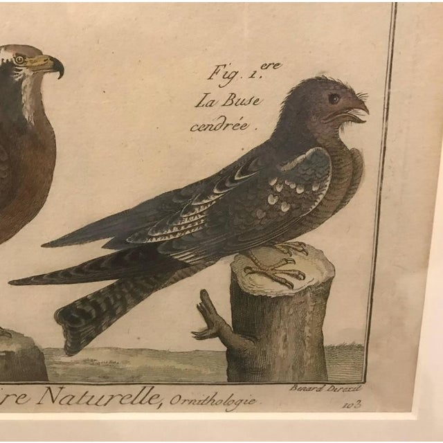 """19th century histoire naturelle hawks print """"pl. 203"""" in painted frame."""
