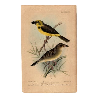 """Ploceus Megarhynchus "", Limited Edition Bird Lithograph Originally Hand-Colored and by J. Smit Del. 1901 For Sale"