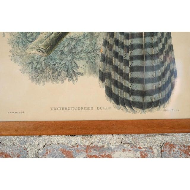 "John Gould ""Erythrotriorchis Dorlae"" Bird Lithograph - Image 5 of 7"