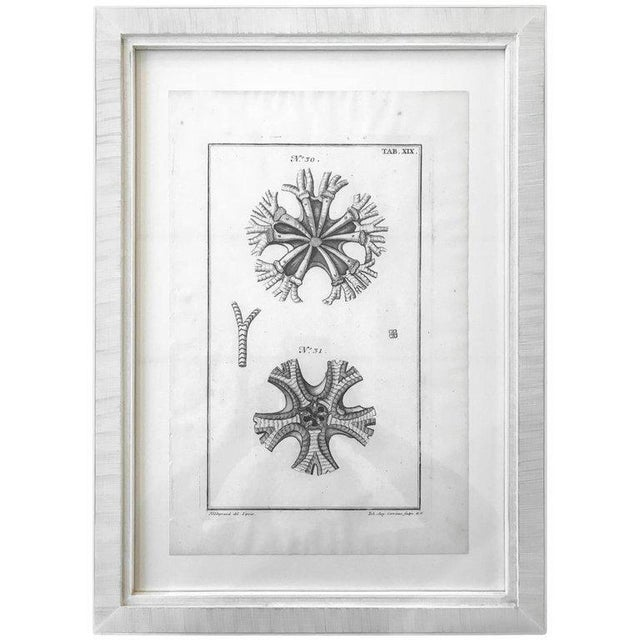 Gray 18th Century Rare French Engraving of Sea Star For Sale - Image 8 of 8