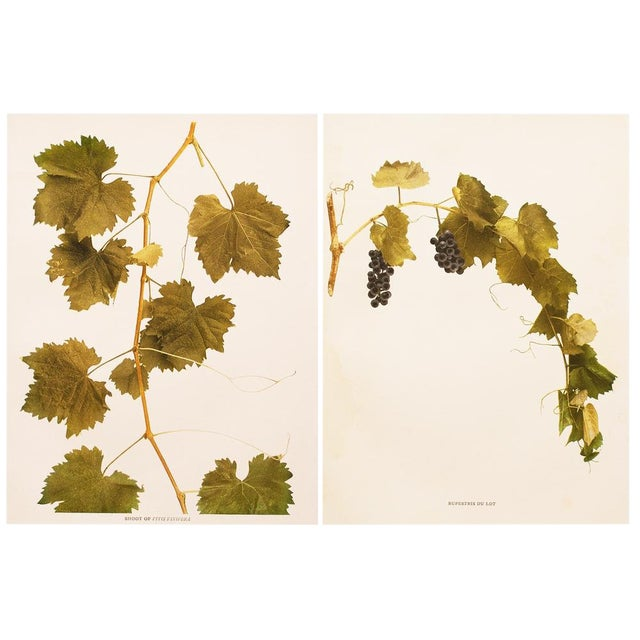 1900s Original Grapes Photogravures by Hedrick - Set of 2 For Sale