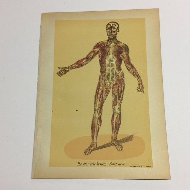 1920s Antique Muscular System Medical Lithograph Print For Sale In New York - Image 6 of 6