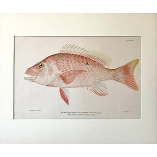 Antique Red Snapper Color Lithograph Fish Print C.1900 Preview