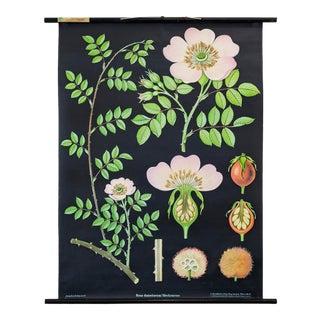 1969 German Botanical Poster, Rosa Dumetorum For Sale