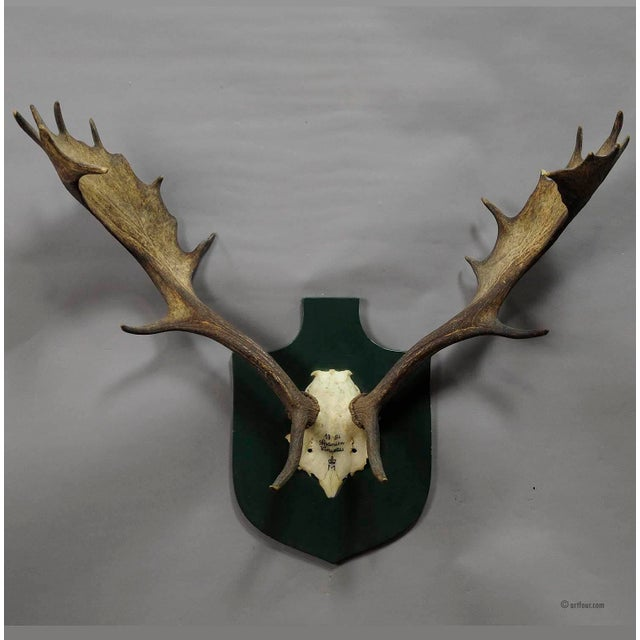 a great black forest fallow deer trophy from the palace of salem in south germany. shoot in Spain by a member of the...