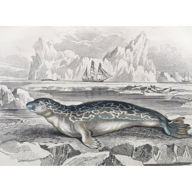 Antique Lithograph of Arctic Seal 19th Century - Image 3 of 4