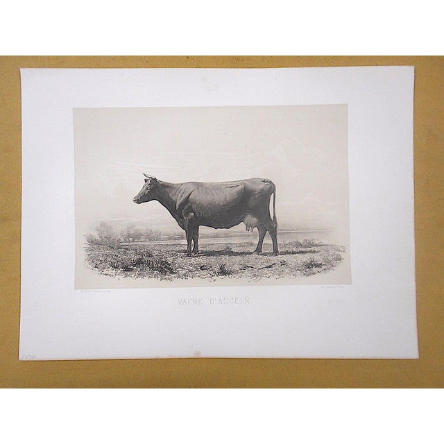 Antique Pure Bred Cattle Engraving-Large Folio For Sale - Image 4 of 4
