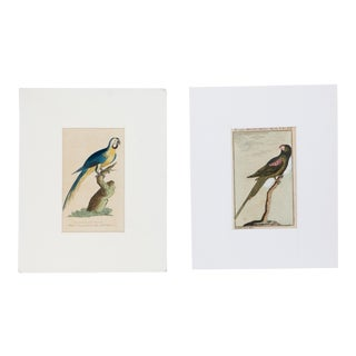 Hand-Colored Macaw Engravings - A Pair