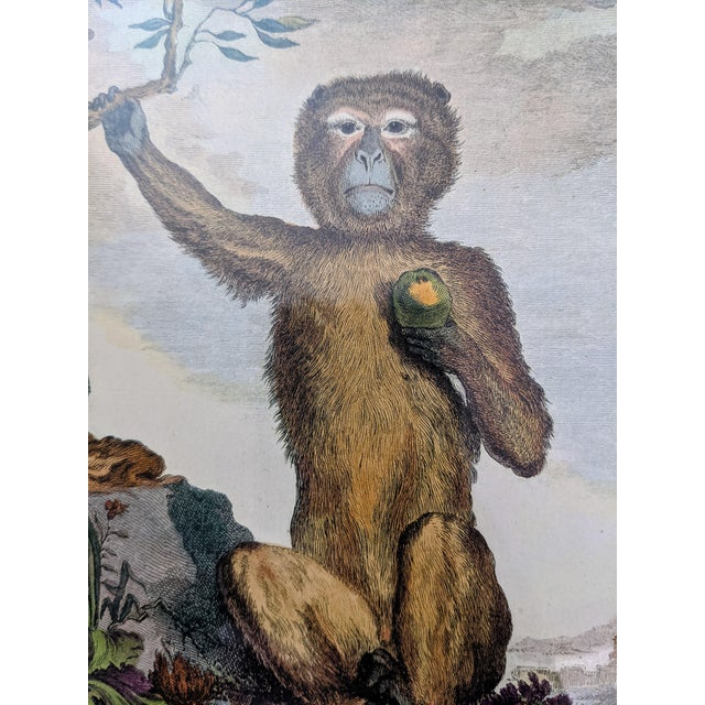 Late 20th Century Hand-Colored Engravings of Monkeys After G. Buffon, Framed - Set of 4 For Sale In Columbus - Image 6 of 13