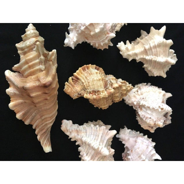 Murex Shell Lot - Set of 8 Shells For Sale - Image 10 of 12