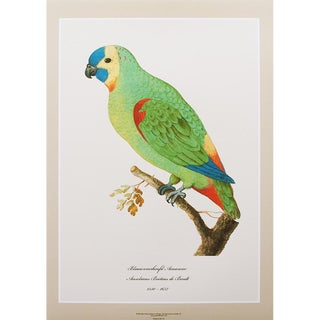 1590s Contemporary Print of Blue-Fronted Amazon by Anselmus De Boodt For Sale