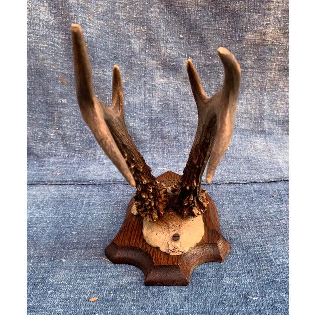 1930s Vintage Roe Deer Trophy Belgium 1931 For Sale - Image 5 of 11