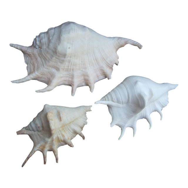 Spider Conch Seashells- Set of 3 For Sale