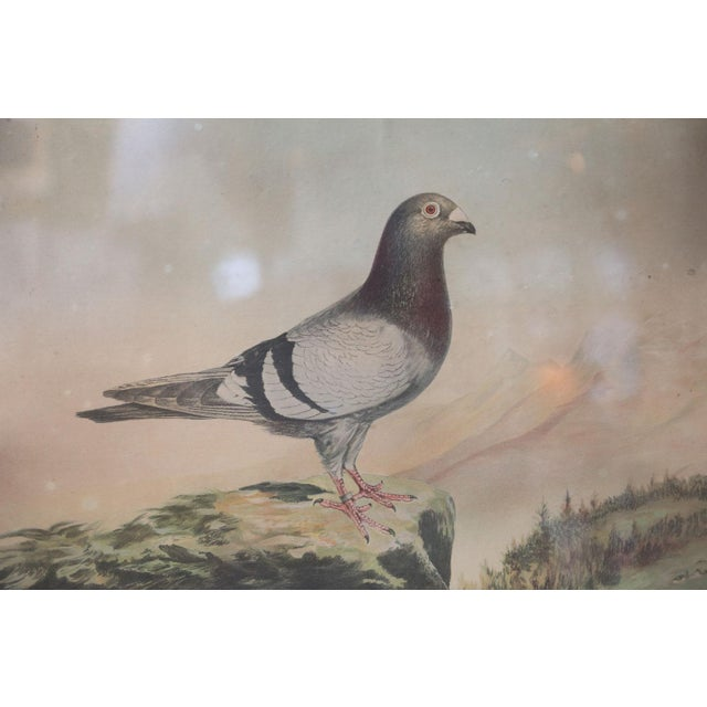 Belgian colored framed pigeon engraving (circa 1950s). Original glass and painted frame.