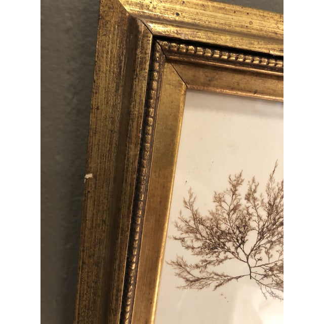 Gold 19th Century Pressed Organic Botanicals in Giltwood Frames -Set of 3 For Sale - Image 8 of 11