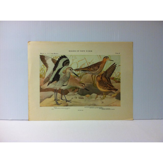"""1925 """"Willet - Bartramian Sandpiper"""" the State Museum Birds of New York Print For Sale - Image 4 of 4"""