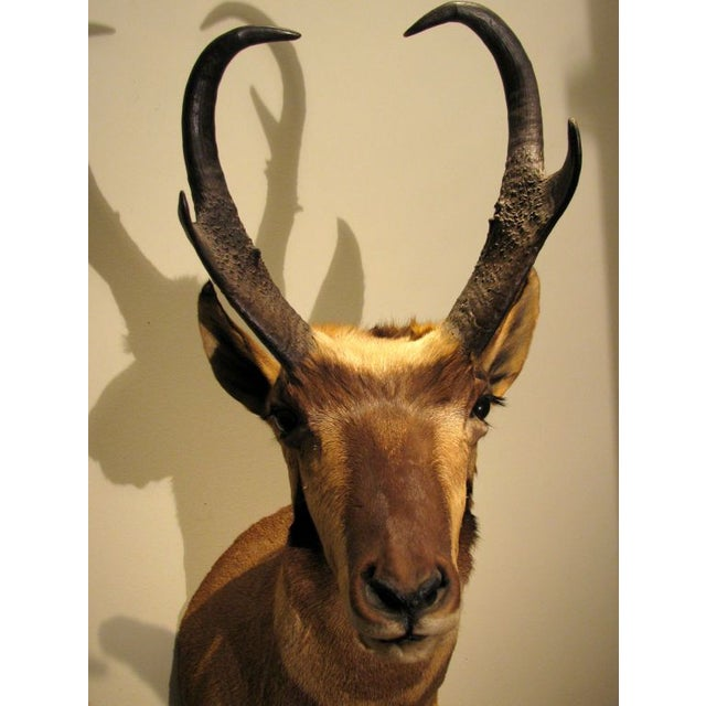 Primitive North American Antelope Trophy For Sale - Image 3 of 5