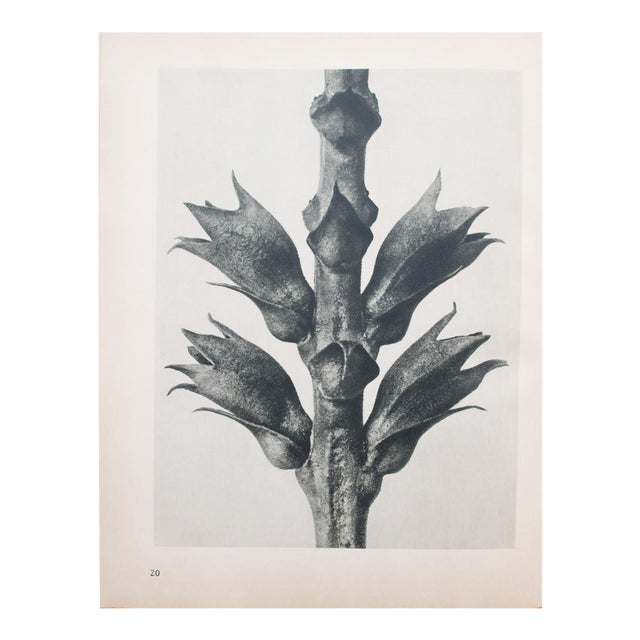 1935 Karl Blossfeldt Photogravure For Sale