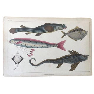 19th Century Oliver Goldsmith Exotic Fish Marine Life Engraving For Sale