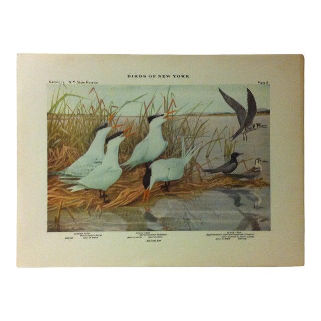 "1925 ""Caspian Tern - Royal Tern - Black Tern"" the State Museum Birds of New York Print For Sale"