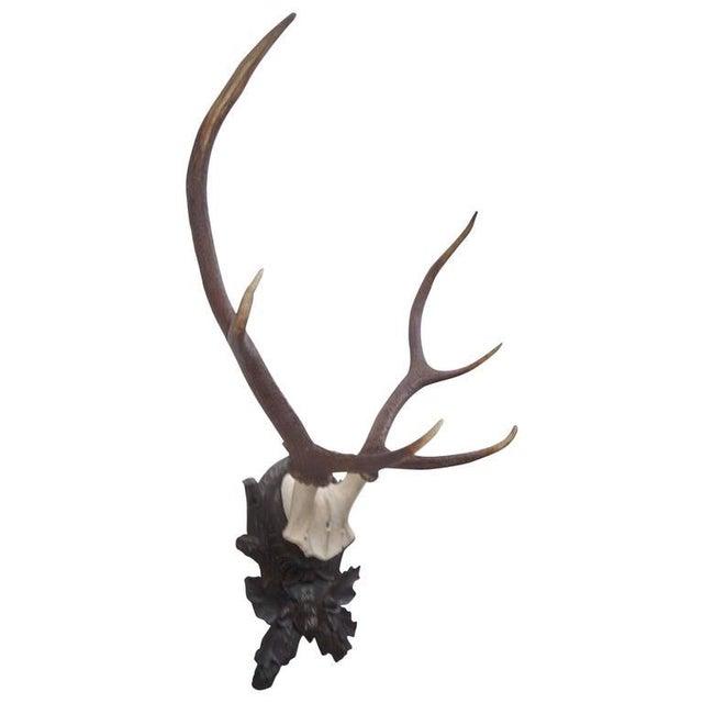 Stately Black Forest Antler Mount on Carved Walnut Plaque For Sale - Image 4 of 4
