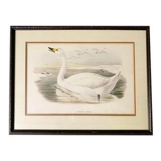 "Antique Gould Original Hand Painted ""Cygnus Minor."" Lithograph Artwork For Sale"