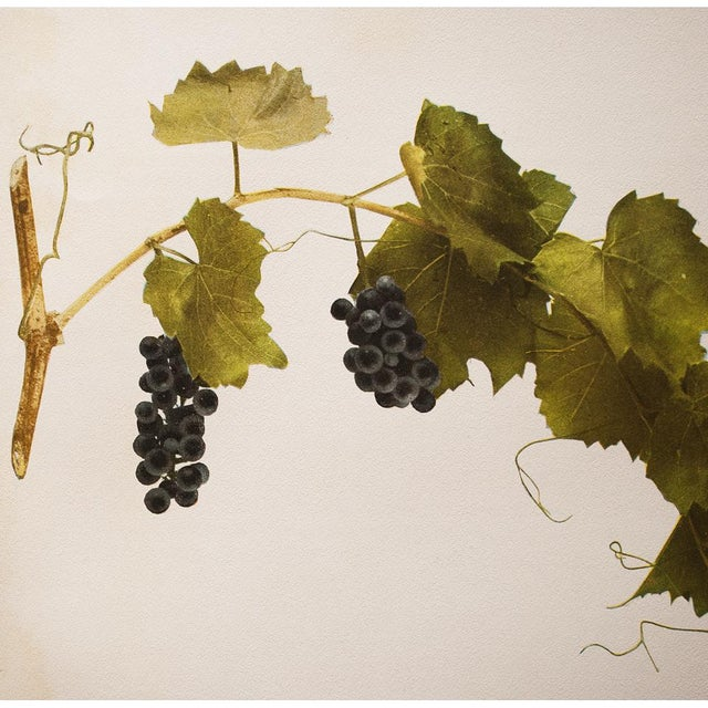 1900s Original Grapes Photogravures by Hedrick - Set of 2 For Sale In Dallas - Image 6 of 10