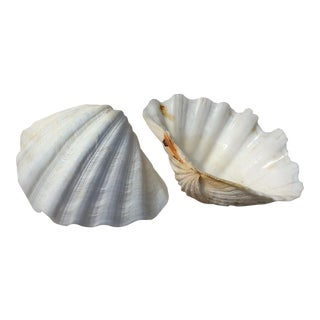 Two Large White Sea Shells For Sale