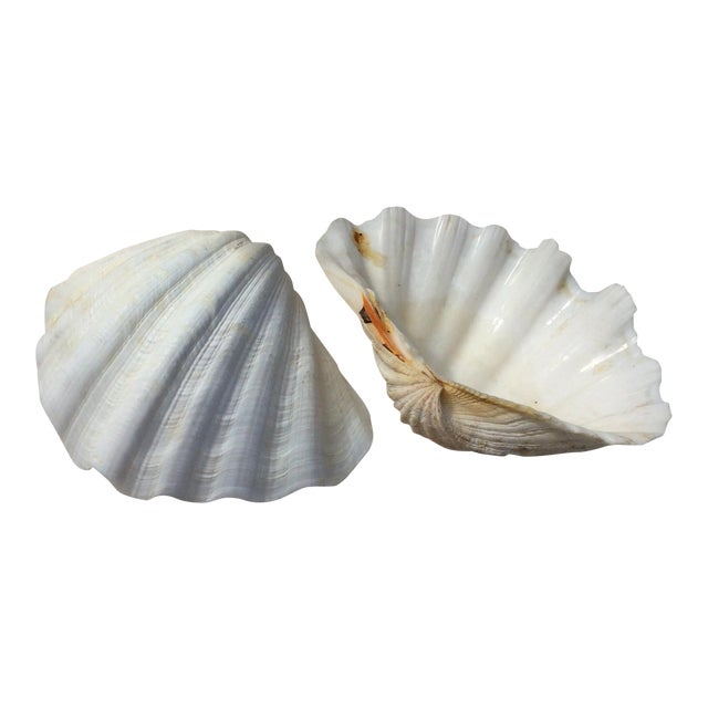 Two Large White Sea Shells - Image 1 of 8