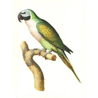 """Vintage Larousse Perroquet """"Moustache Parakeet"""" Color Lithograph Preview"""