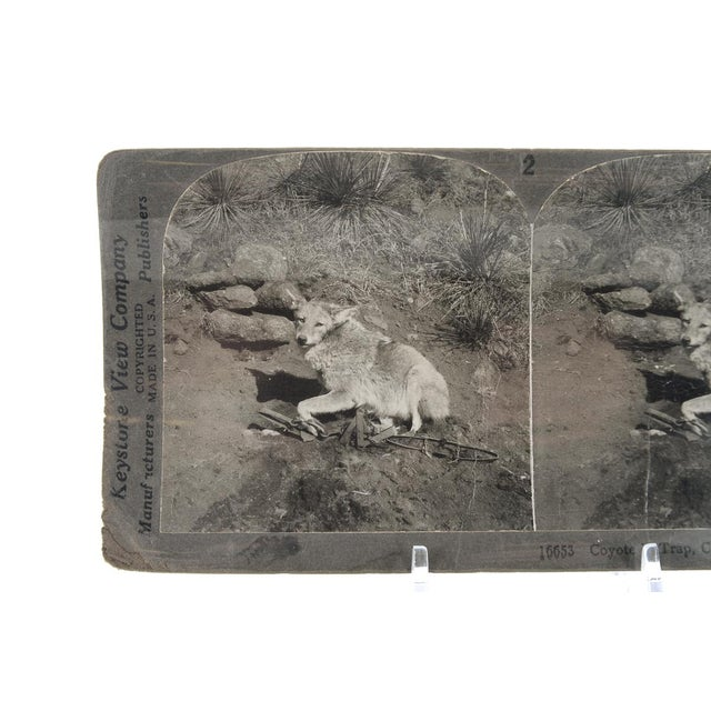 Rustic Coyote in Trap - 1900s Keystone Stereo Photograph For Sale - Image 3 of 4