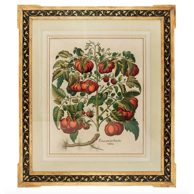 "Paint Basilius Besler ""Pomaamoris Fructu Rubro"" Botanical Print For Sale - Image 7 of 7"