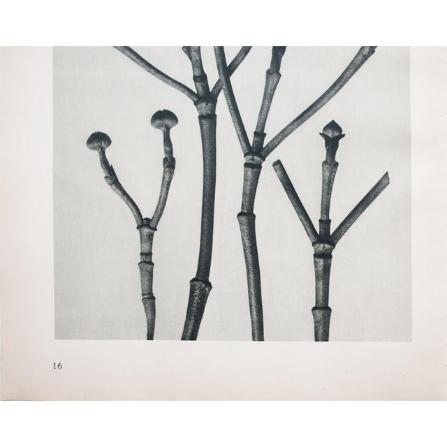 1935 Karl Blossfeldt Photogravure N15-16 For Sale - Image 4 of 9