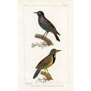 Starlings, 1831 French Engraving For Sale