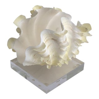 Ruffled Clamshell on Lucite Base