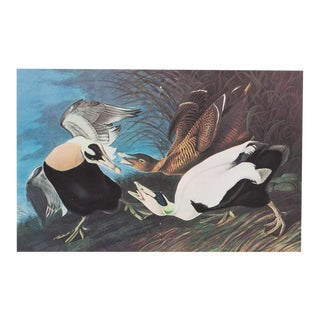 XL Vintage Lithograph of Eider Ducks