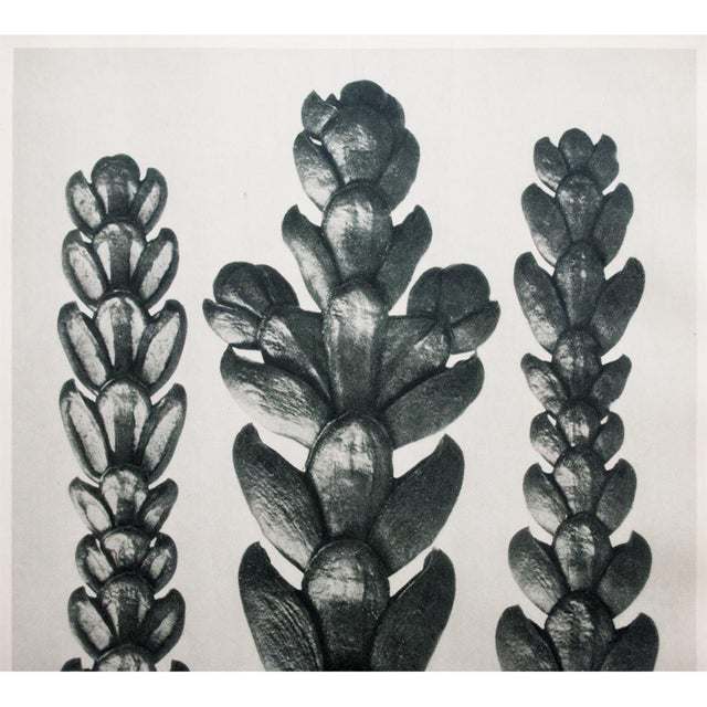 Contemporary 1935 Karl Blossfeldt Two-Sided Photogravure N25-26 For Sale - Image 3 of 8