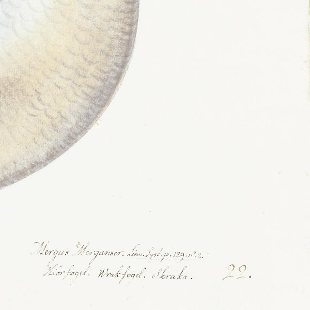 Illustration Male Goosander Plate 22 by Olof Rudbeck (Cfa-Wd) For Sale - Image 3 of 6