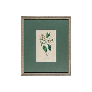 19th C. Mock Orange Blossom Branch Engraving