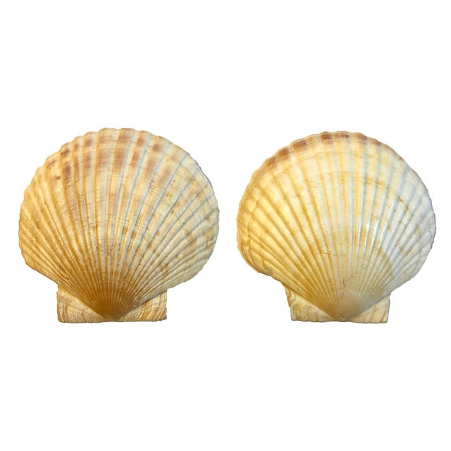 1950s Vintage Clam Shells, Set of 2 For Sale - Image 5 of 5