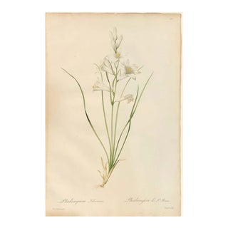 Phalangium Liliastrum Hand Painted Colored Engraving Signed p.j. Redoute For Sale