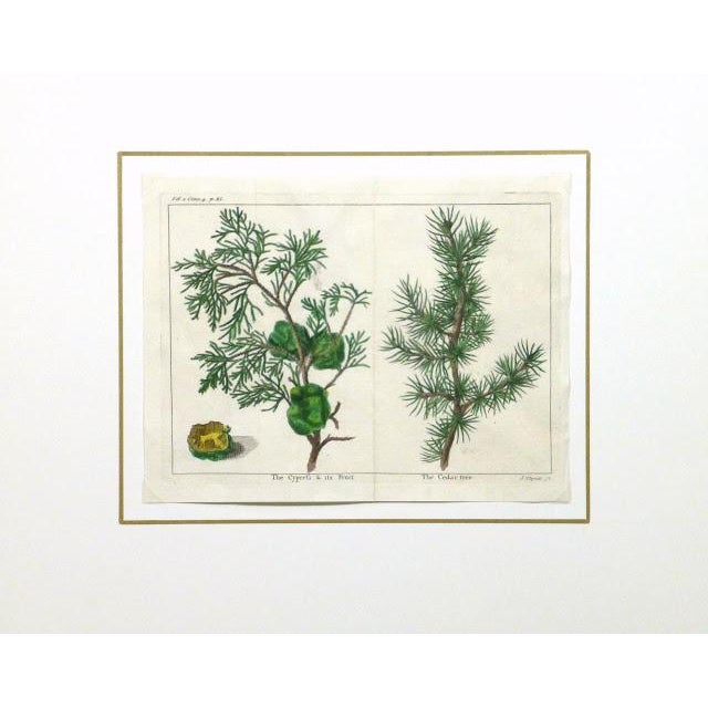 Antique Botanical Print Trees Engraving, C. 1780 - Image 3 of 3