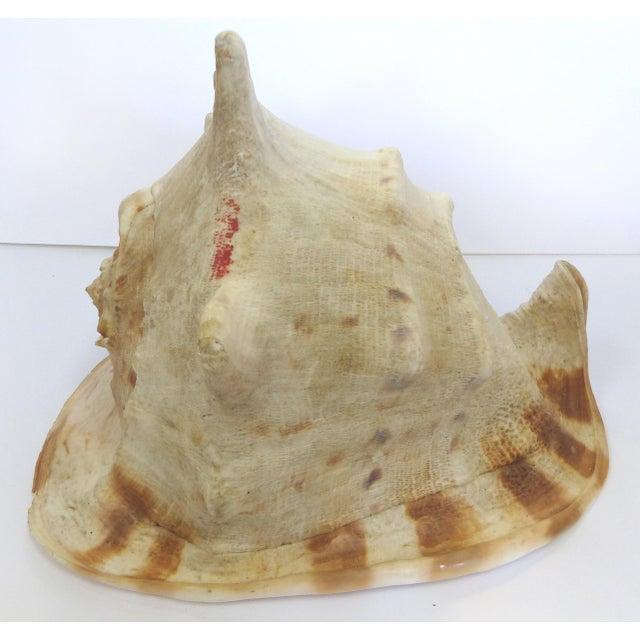 Natural King Helmet Conch Shell Specimen - Image 3 of 8