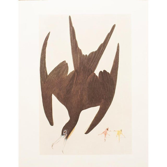 A stunning large vintage reproduction of the original lithographic print of Magnificent Frigatebird by John James Audubon...
