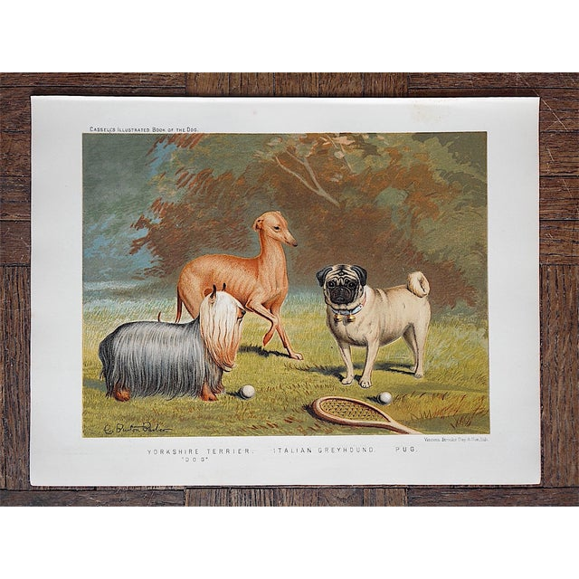 Antique Dog Lithograph - Yorkie, Greyhound, Pug - Image 3 of 3