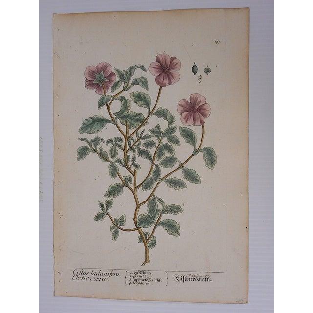 18th C. Botanical Engravings Folio Size- Set of 2 - Image 4 of 5
