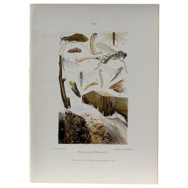 Simulium Flies Print - Chromolithograph - Image 1 of 7