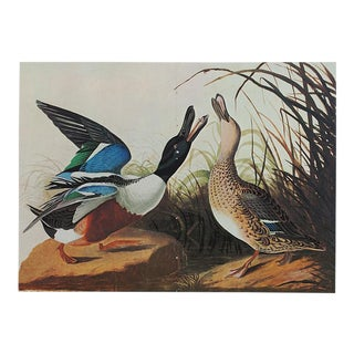 1966 Vintage Lithograph of Shoveller Duck