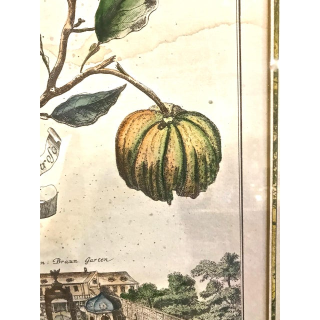 Wood 18th Century Antique Volkhammer Botanical Engravings - A Pair For Sale - Image 7 of 12