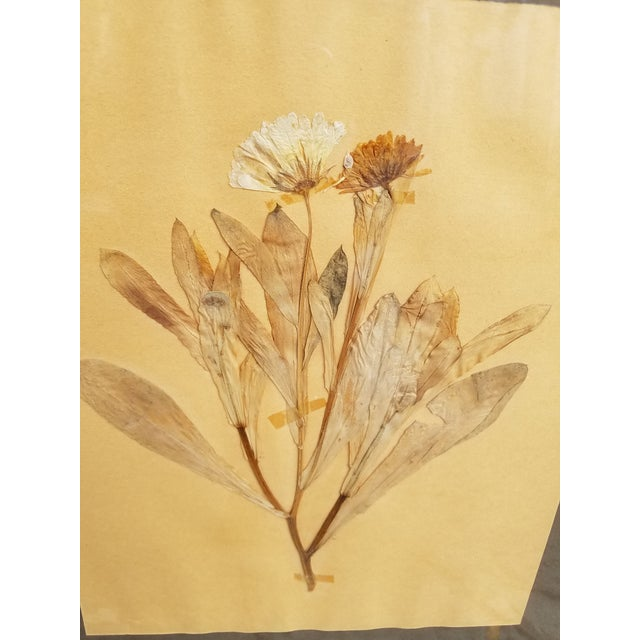 Pair of French dried pressed botanical speciman herbs under glass in contempory gilt frames. Labeled and dated 1937 with...
